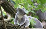 動物圖集:某國的國寶-樹袋熊