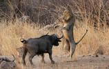 非洲的五大獸之一——非洲水牛!