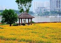 福州千畝花海盛開,去看花花世界吧