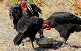 三隻紅臉地犀鳥圍攻豹紋陸龜,求陸龜的心理陰影面積?