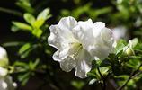美麗的杜鵑花