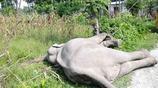 大象在稻田散步卻突然倒了下去,村民聞聲趕來在其身上發現這個