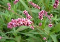 """這種野草是""""天然酒麴"""",它比辣椒還辣,農民卻常把它當雜草除掉"""