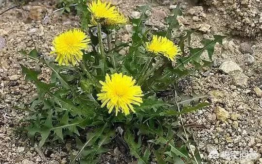 在農村,3月份這個季節,會有什麼好吃的野草嗎?