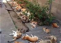 貓薄荷是不是薄荷?為什麼貓咪遇見它就失控!