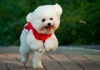 青年講寵物:貴賓犬感冒怎麼辦,貴賓犬洗澡