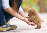 泰迪犬的智商有多高?排犬類第幾?