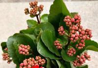 長壽花在花期做到這幾點,花期長,開花爆盆又鮮豔