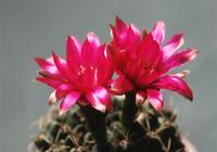 開花鮮豔的仙人球你見過嗎?又應該如何養護呢?