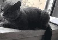 藍貓懷孕產子,生下三隻色號不同的小貓,網友:生著生著沒墨了?