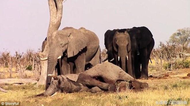 面對大象屍體,一群大象默默哀悼不願離去