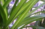 在沒有開花的時候怎麼區分建蘭和春蘭呢?