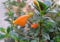 金魚吊蘭長成了觀葉植物,只長葉子不開花?這樣做,讓它花開滿枝