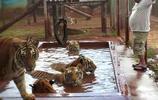 巴西一戶狂野人家養一群老虎當寵物還同吃同睡,親戚朋友不敢登門