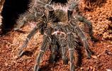 所羅門食鳥蛛-凶猛的大型蜘蛛