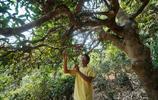 糯崗探訪茶農:刀老五說他做過和尚家有千年古茶樹,現在茶價滿意