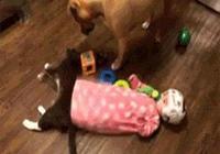 寶寶踹了熟睡中的貓一腳,喵星人睜開眼,衝著隔壁的狗就撲了上去