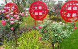 街拍:月季倚靠著柵欄盛開扮美居民區 樹狀月季價值150-500元/株