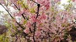 2019武大櫻花節,我提醒一下準備前去觀賞櫻花的朋友們不跑冤枉路