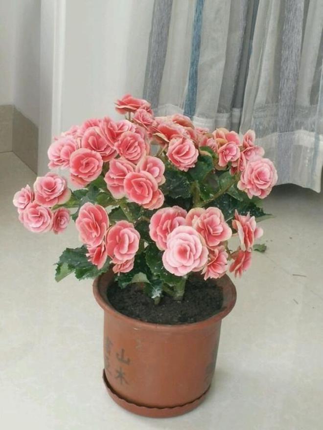 別再養綠蘿紅掌了,此花漂亮又好養,扔土裡就能活,四季花開不斷