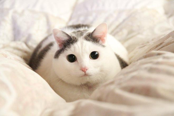 這隻貓咪雖然身子胖但是臉超小,拍照的時候也太上相了吧!