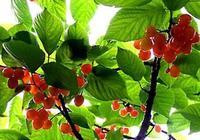 七絕《櫻桃》