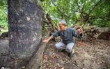 千年古血藤人為原因即將枯萎成為腐木,最後的果實碩大