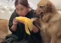 主人吃大芒果金毛一腳踩上去,看到金毛的表情網友笑噴了