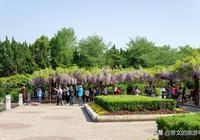 上海嘉定紫藤園,盛開的紫藤垂落花棚,猶如一串串紫色風鈴