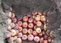 農民為何把收穫的蘋果埋在土裡面?