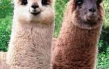 動物圖集:清秀的羊駝