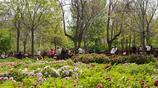 河南三門峽陝州公園牡丹盛開綻放,看看你認識幾個品種