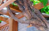 您能看出這棵衚衕裡的老葡萄樹種了有多少年了嗎?