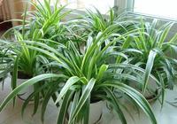吊蘭的葉子翠綠寬大,她到底怎麼養的呢?
