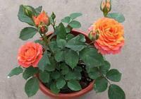 陽臺月季只開3朵?3個小技巧,長爆盆,一次30朵,開成小花園!