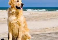 金毛犬、泰迪犬、雪納瑞犬都有什麼特點,你會選擇哪種狗狗飼養呢