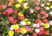 這花沾點土就活,簡直比野草還好養,養一盆自己開爆陽臺