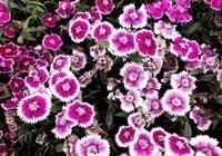 秋天花卉:石竹盆栽的養護管理