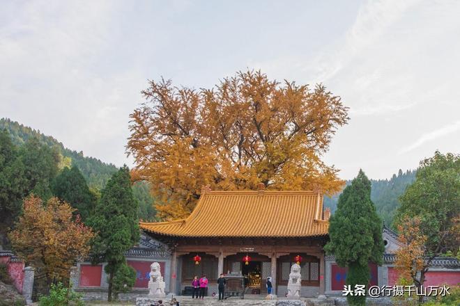 濟南淌豆寺裡的一棵千年銀杏,現在樹葉已經金黃,到了最佳觀賞期