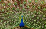 動物圖集:美麗的孔雀