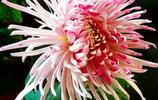 鴛鴦菊,又名鴛鴦雙展翅,是菊花的一種精品