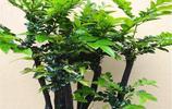 小葉紫檀植物和小葉紫檀手串有什麼關聯