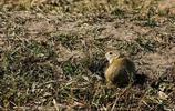 田鼠:對農、牧、林業危害