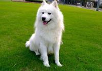 雪中銀狐之薩摩耶犬