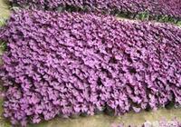 紫葉酢漿草該如何養?嫩芽掉了還會長芽嗎?
