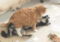 貓咪一屁股坐在柴犬身上,還強吻柴犬,柴犬都要哭了