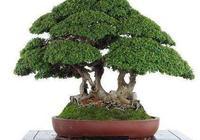 流行時尚宜養的盆景-榆樹盆景