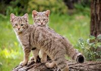 貓咪從哪裡來的?從演化角度重新認識下你家的喵星人!