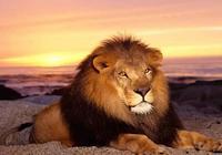 角馬被獅子咬住脖子,本以為必死無疑,關鍵時刻奇蹟出現了。