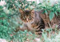 狸花貓和豹貓誰厲害呢?
